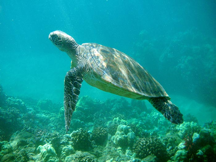 Honu means turtle