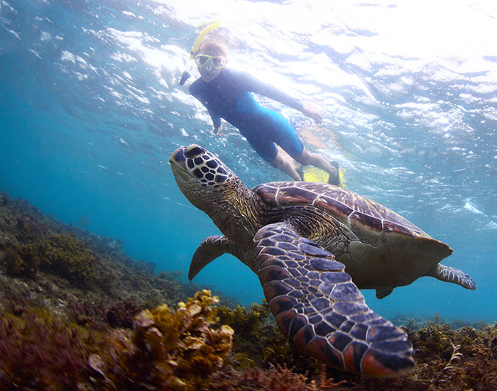 snorkeling, swimming with a honu: sea turtle